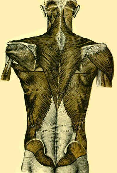 Anatomy : Wheeless' Textbook of Orthopaedics